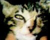 猫ウイルス性鼻気管炎