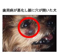 歯周病が悪化し顔に穴が開いた犬