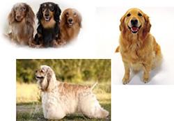 外耳炎になりやすい犬種