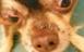 犬バべシア症